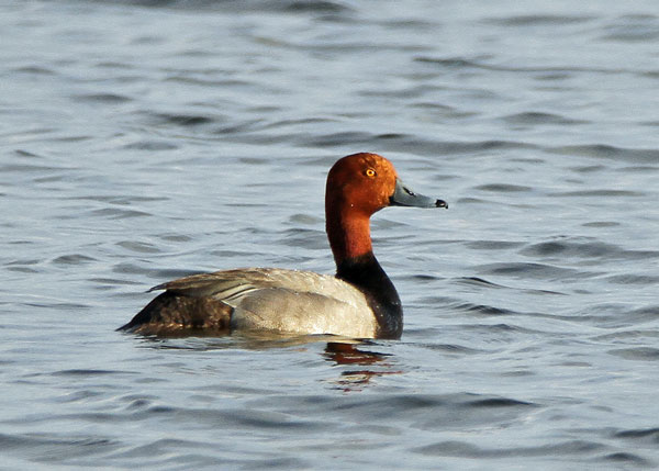 Redhead at the Horicon Marsh