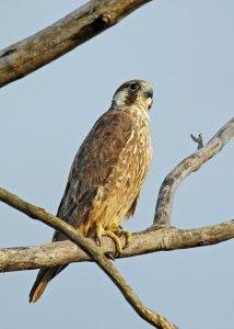 Falcon at the Horicon Marsh