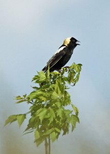 Bobolink at the Horicon Marsh