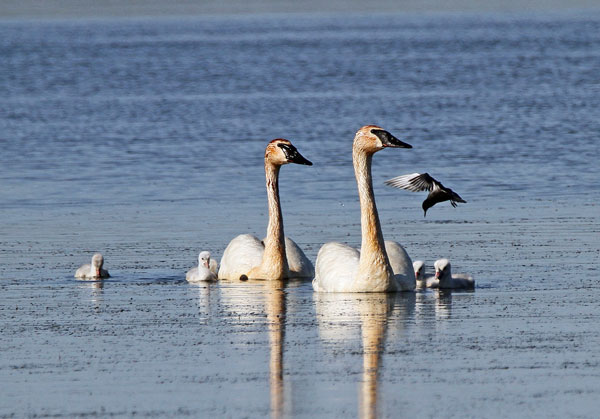 Trumpeter Swans and Black Tern at the Horicon Marsh