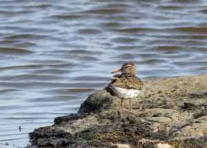 Spotted Sandpiper at the Horicon Marsh