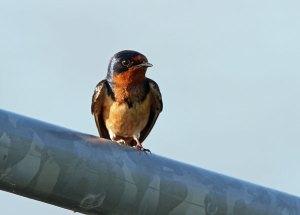 Barn Swallow at the Horicon Marsh