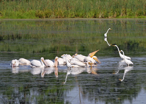 Pelicans and Egrets at the Horicon Marsh