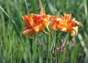 Day Lily at the Horicon Marsh