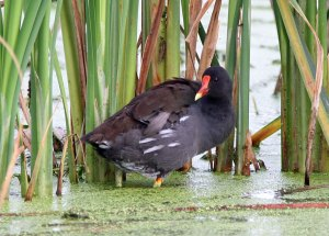 Adult Common Gallinule at the Horicon Marsh
