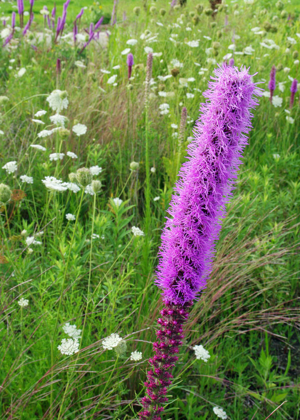 Dense Blazing Star Liatris with Queen Anne's Lace at the Horicon Marsh