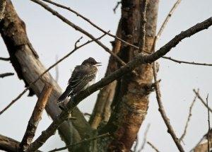 Eastern Kingbird at the Horicon Marsh