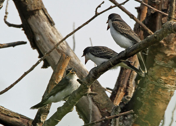 Eastern Kingbirds at the Horicon Marsh