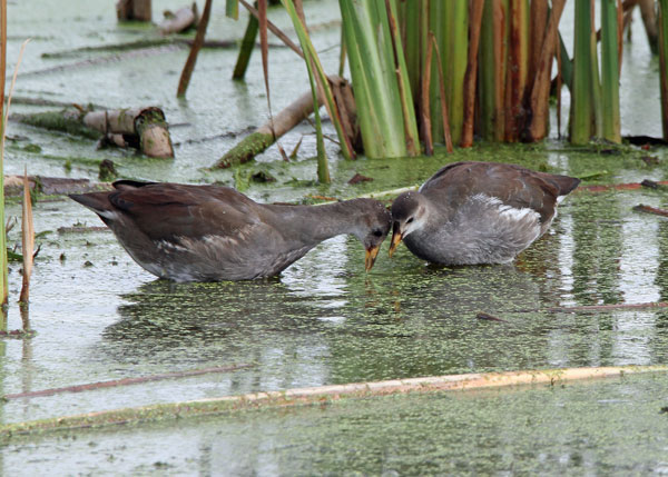 Juvenile Gallinules at the Horicon Marsh