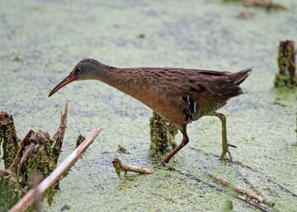 Virginia Rail at the Horicon Marsh