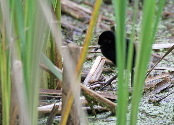 Virginia Rail Chick at the Horicon Marsh