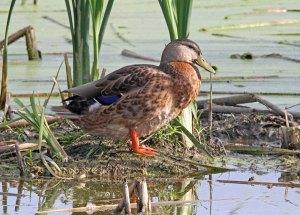 Mallard at the Horicon Marsh