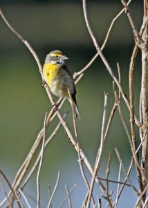 Dickcissel at the Horicon Marsh