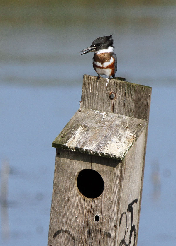 Female Belted Kingfisher at the Horicon Marsh