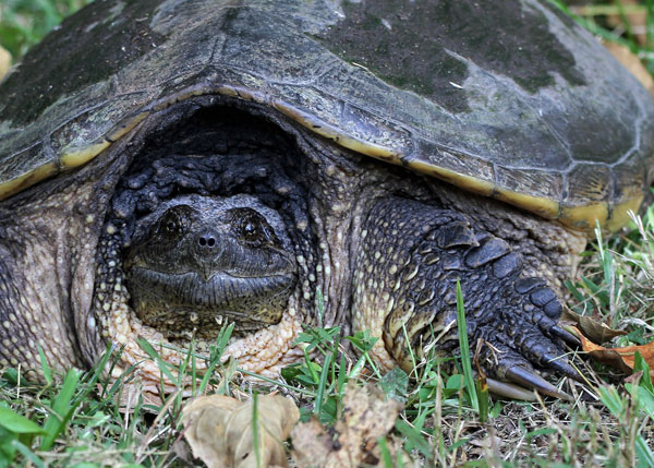 Snapping Turtle at the Horicon Marsh