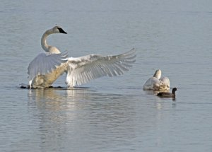 Trumpeter Swans and an American Coot at the Horicon Marsh