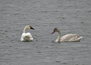 Tundra Swan and Cygnet at the Horicon Marsh