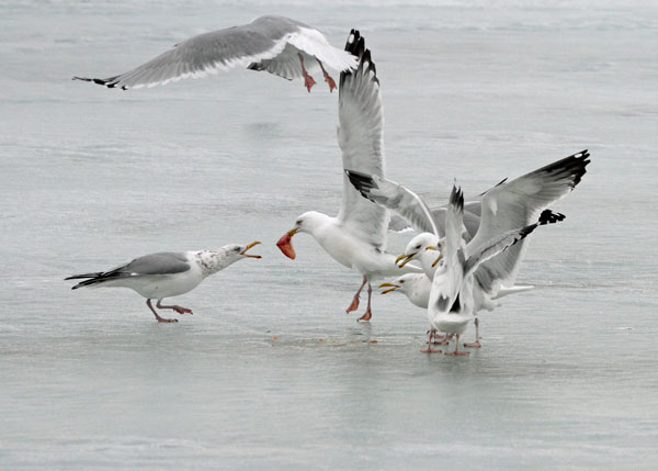 Herring Gulls at the Horicon Marsh