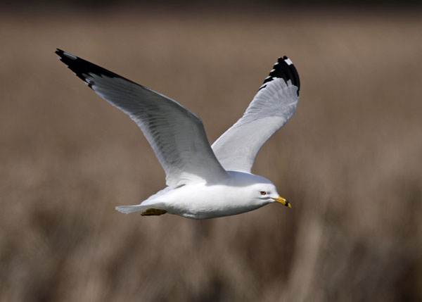 Ring-billed Gull at the Horicon Marsh