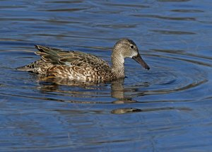 Female Blue-winged Teal at the Horicon Marsh