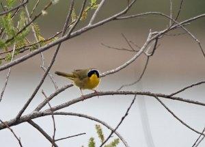 Common Yellowthroat at the Horicon Marsh