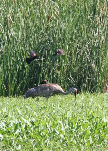Red-winged Blackbirds and Sandhill Crane at the Horicon Marsh
