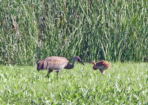 Sandhill Cranes at the Horicon Marsh