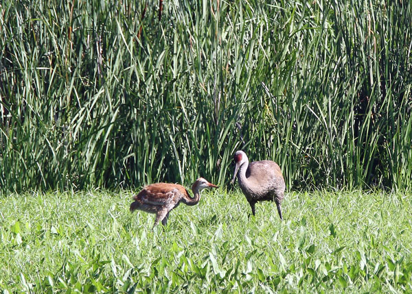 Sandhill Crane with Chick at the Horicon Marsh