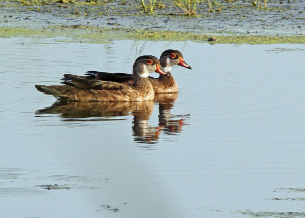 Eclipse Male Wood Ducks at the Horicon Marsh