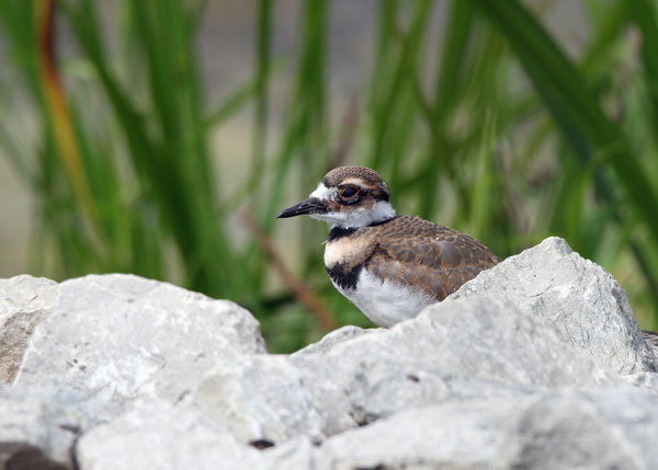 Juvenile Killdeer at the Horicon Marsh