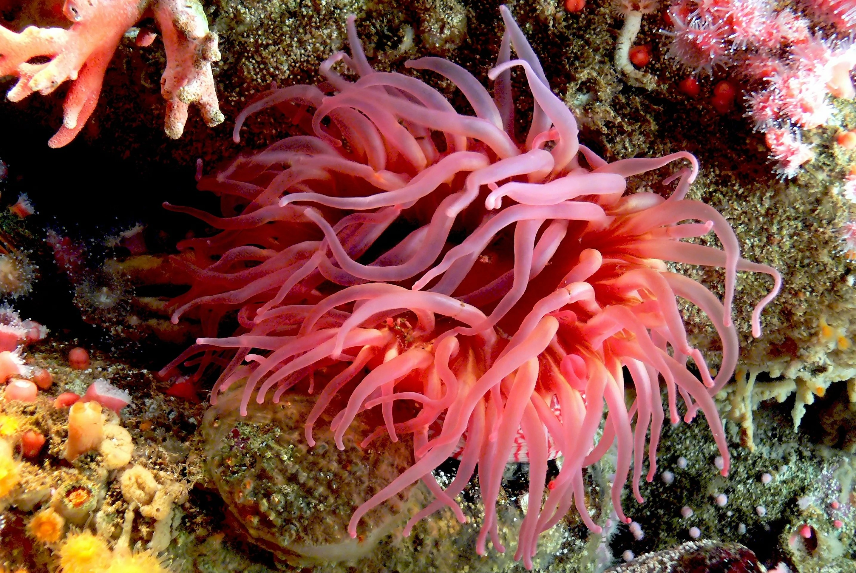 A group of creatures known as cnidarians, which includes sea anemones, are the only animals that inject venom via sting cells.