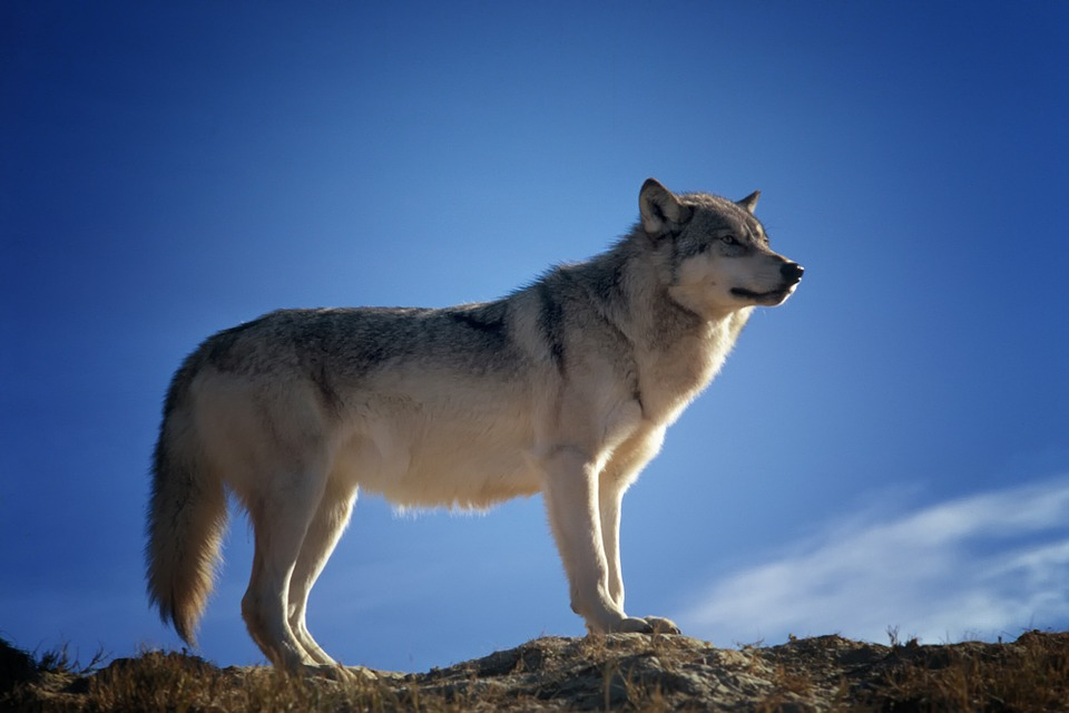 Scientists believe that modern-day dogs originated from two different populations of wolves. Image credit - Pixabay