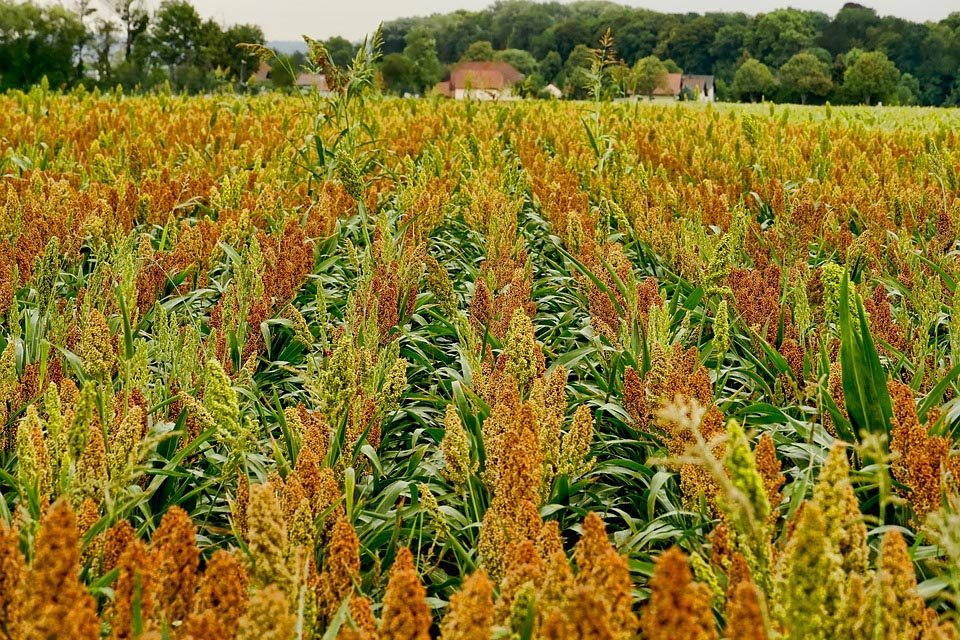 Modifying sorghum so that it releases zinc more easily could help tackle micronutrient deficiency.