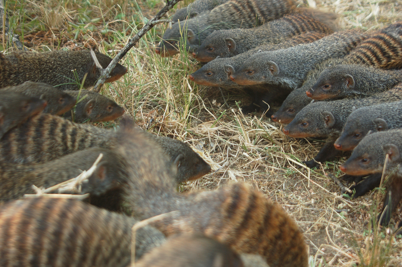 Mongooses, like humans, are among the few mammals that go to war with each another. Image credit - Harry Marshall