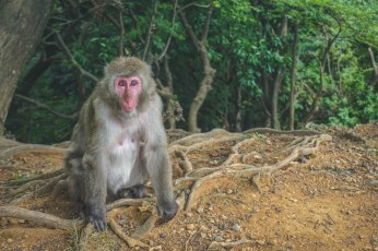 Another Japanese Macaque, sometimes called a Snow Monkey because aside from humans, they are the northern most living primate. There's a spot close to the northern city of Saporro where they are famous for swimming in hot springs during the snowy winter.