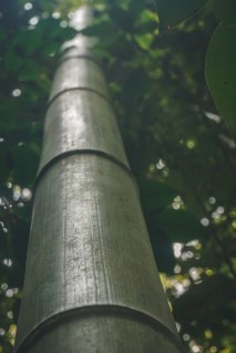 Massive bamboo along the Philosopher's Path.