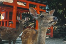Deer standing in front of a torii gate and shrine.