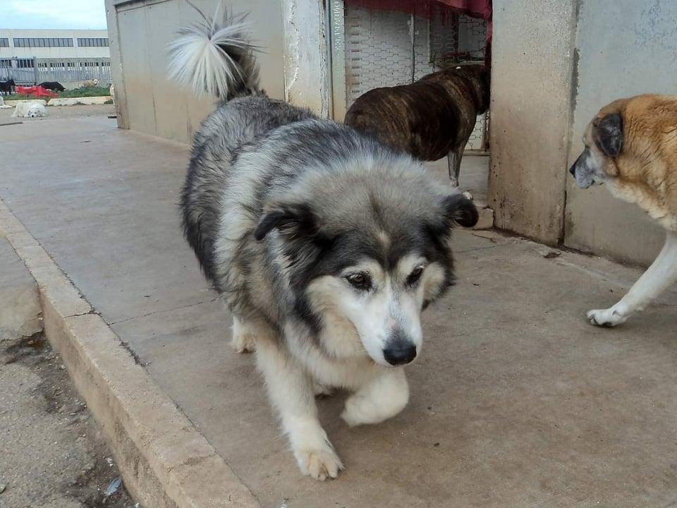 Laika,dolcissima husky di un'affetto unico e piena di amore e vita