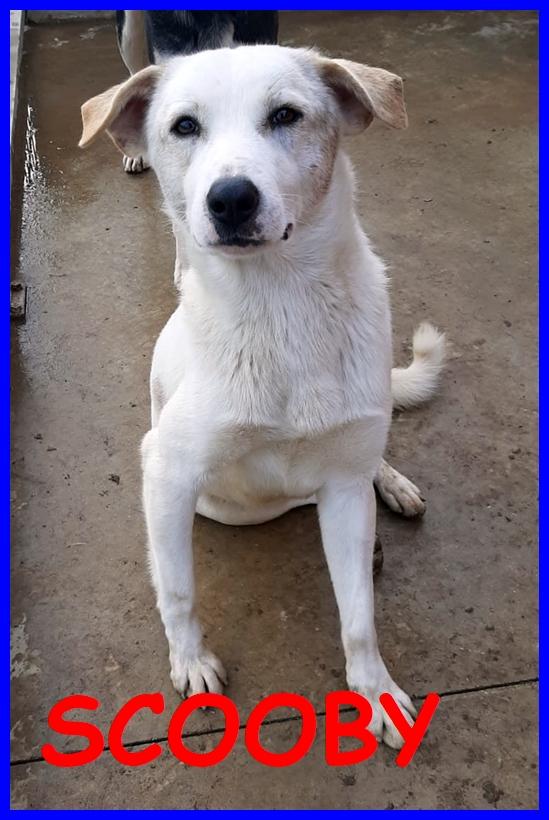 SCOOBY tenero cucciolone 1 anno e mezzo simil labrador finito in canile