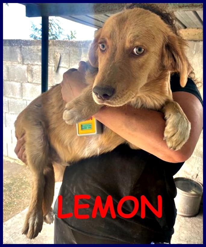 LEMON cucciolotto simil labrador retriver 6 mesi lasciato fuori dal canile