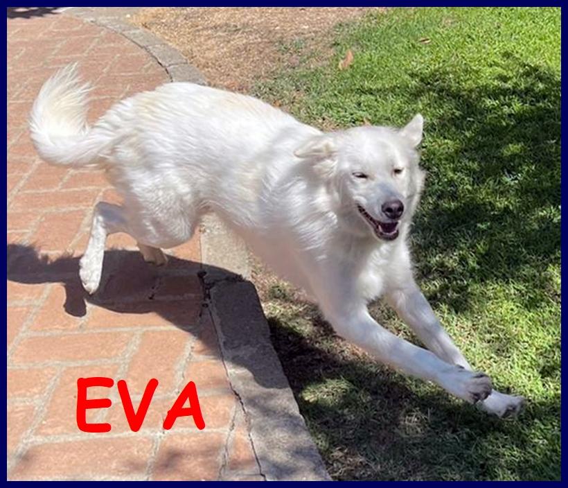 EVA stupenda cucciolona simil golden maremmana 15 mesi