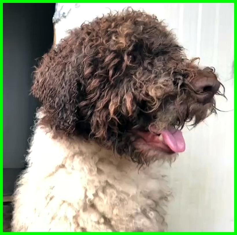 MARIO il cane straordinario lagottino 4 anni bello e buono