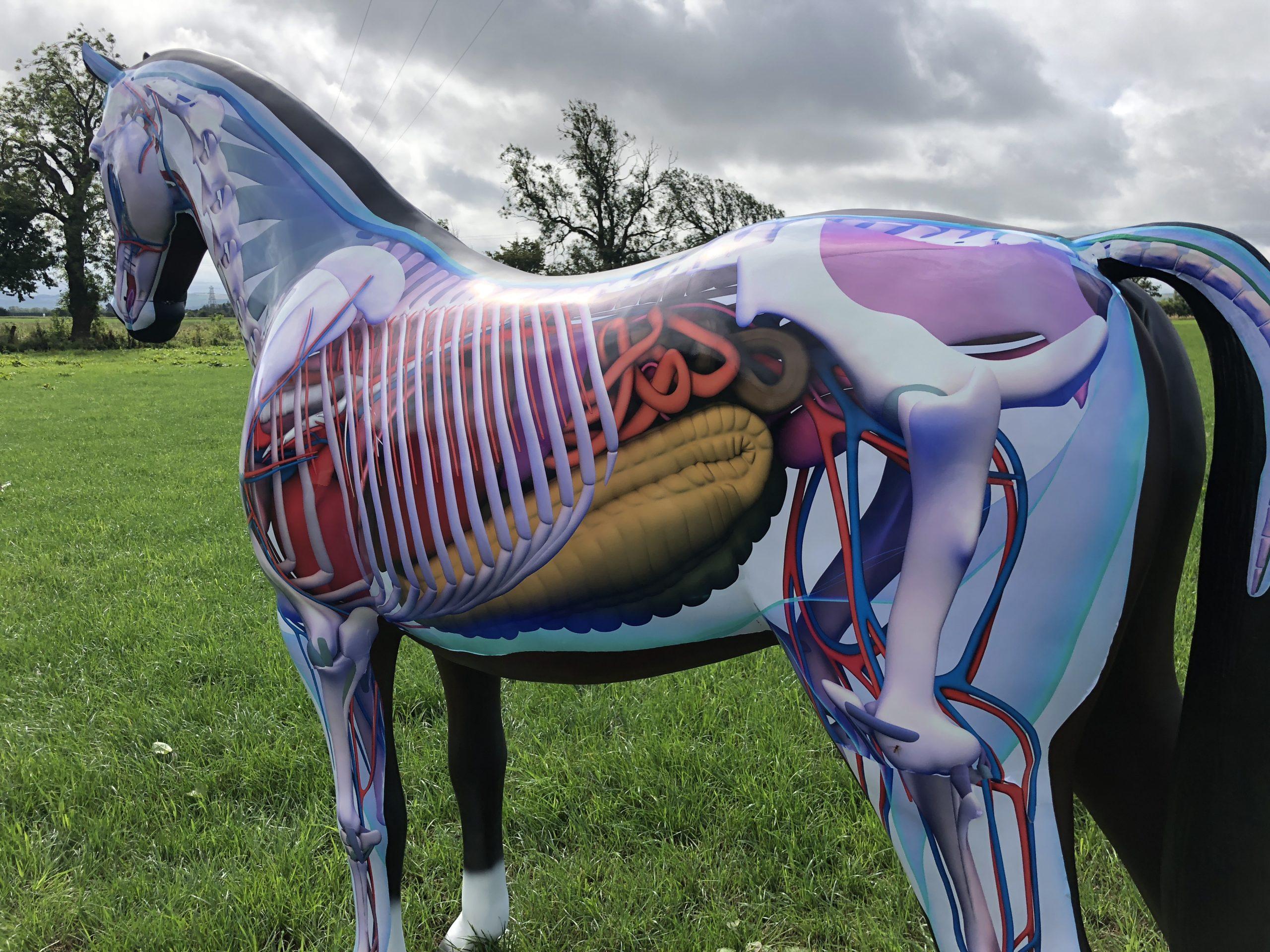 Anatomy Full Size Horse 3D Model