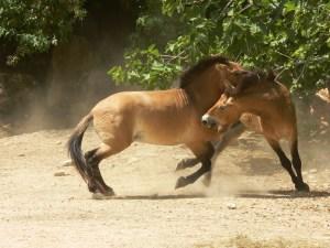 Dangerous Horse Fighting