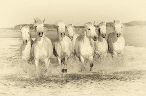 Horses Can Run Very Close To Each Other Because Of Their Shape.