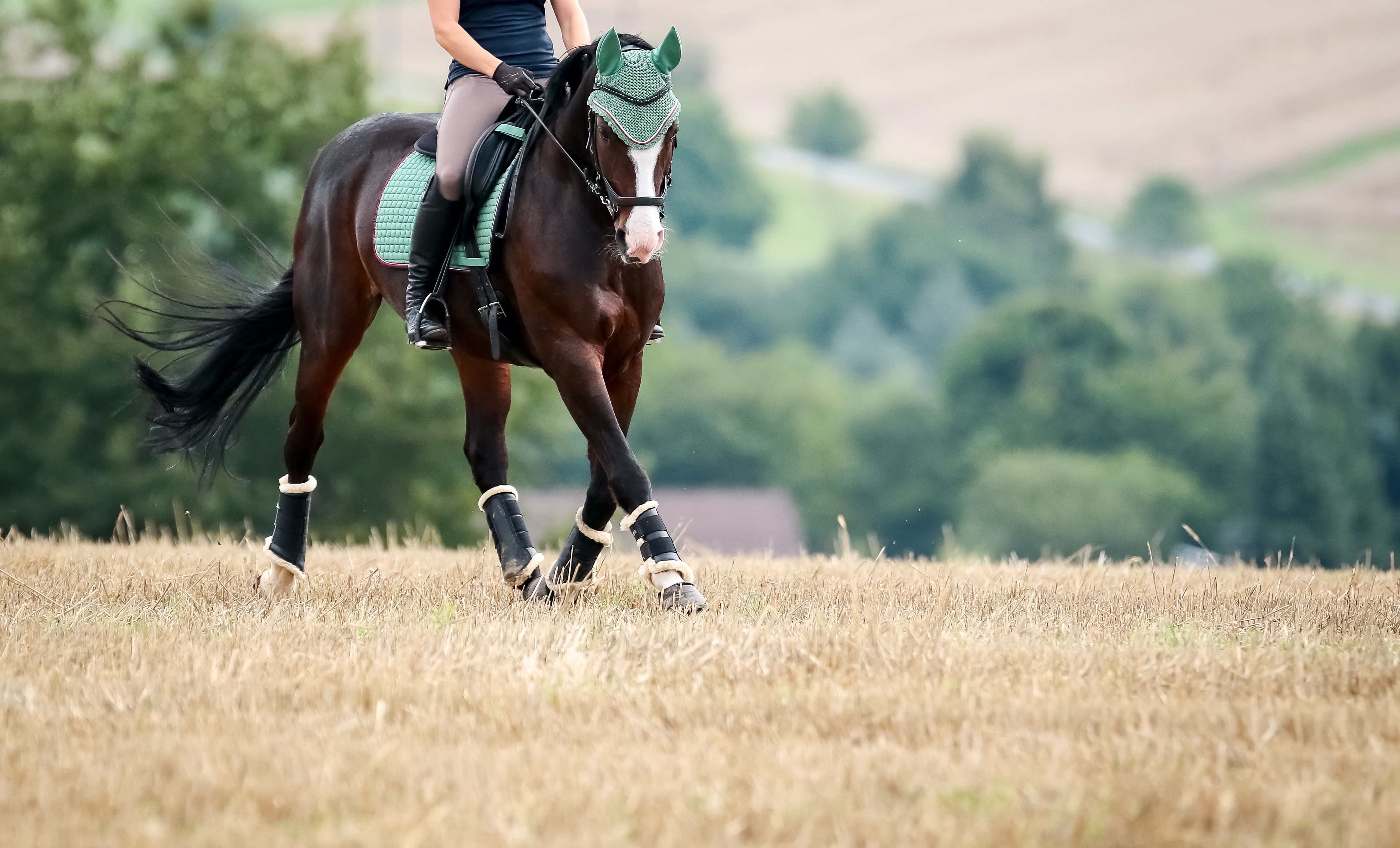 What is a warmblood?