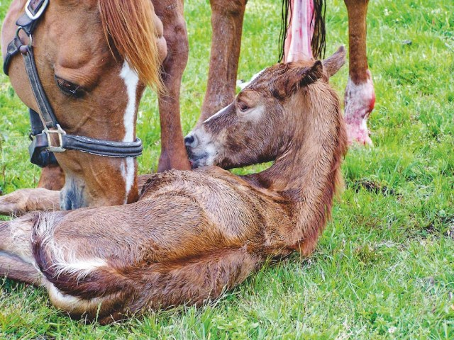 Within a few minutes of birth, the foal will begin to show signs of sitting up (NZHP)