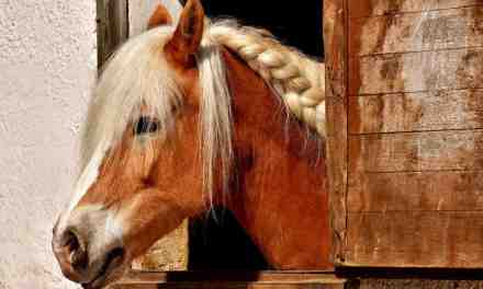 Hestens lunger. Sådan holder du din hest fri af luftvejsproblemer