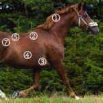Huldvurdering af heste. Sådan gør du