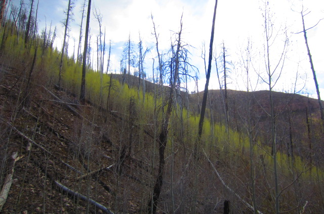 Plenty of aspens taking root up here.